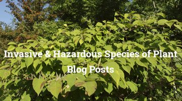 JAPANESE KNOTWEED – THE £20 BILLION PROBLEM